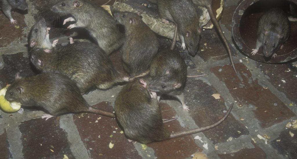 уничтожение крыс в Владикавказе